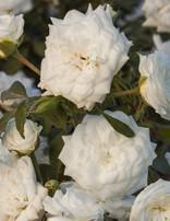 Rose 'Drift White 3 gal