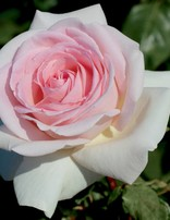 Rose 'Francis Meilland'