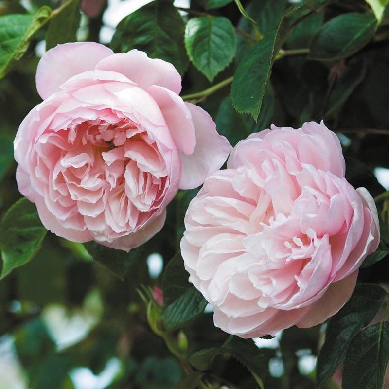 Rose 'Generous Gardener'