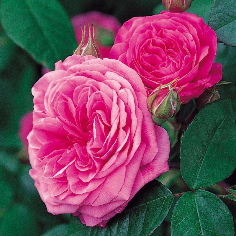 Rose 'Gertrude Jekyll'