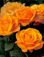 Rose 'Good as Gold'