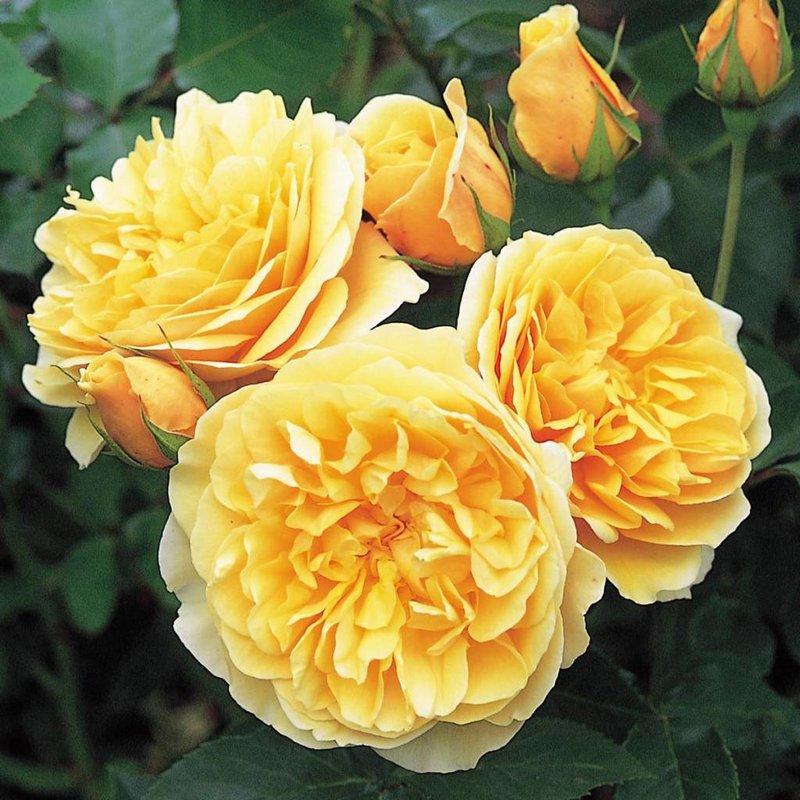 Rose 'Graham Thomas'