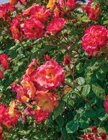 Rose 'Josephs Coat Climber'