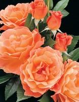 Rose 'Livin Easy'