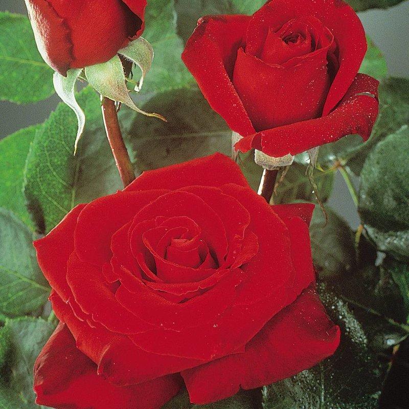 Rose 'Love's Promise'