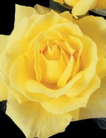 Rose 'Mellow Yellow'