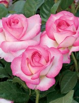 Rose 'Miss Congeniality'