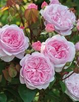 Rose 'Olivia Rose Austin'