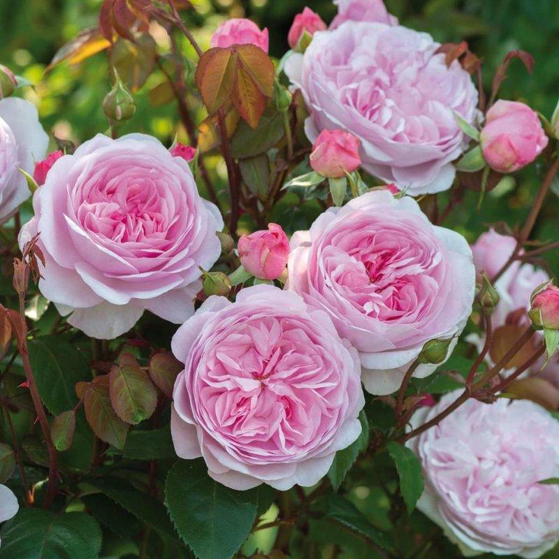 b897dc35a49b6c Rose Olivia Rose Austin 5 gal - Cornell Farm