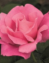 Rose 'Perfume Delight'