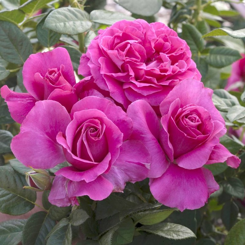 Rose 'Pretty Lady Rose'
