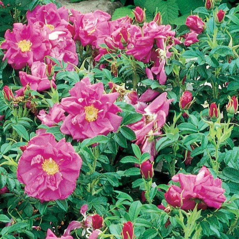 Rose Rugosa 'Purple Pavement'