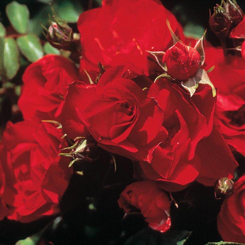 Rose 'Ruby Meidiland'