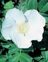 Rose 'Rugosa Alba'