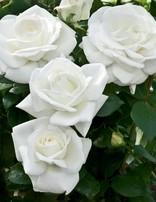 Rose 'Sugar Moon'