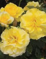 Rose 'Sunsprite'