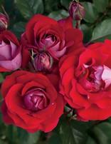 Rose 'Take it Easy'