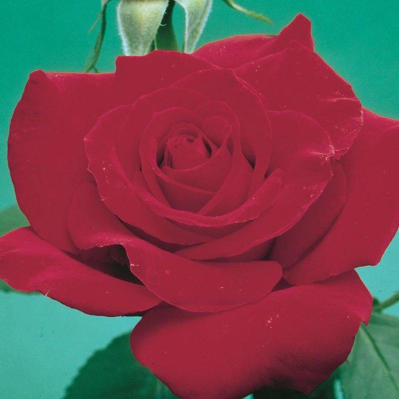 Rose 'Olympiad'