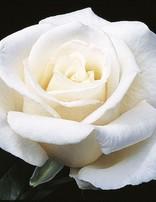 Rose 'Full Sail'