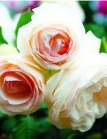 Rose 'White Eden Climber'