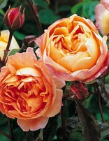 Rose 'Lady Emma Hamilton'