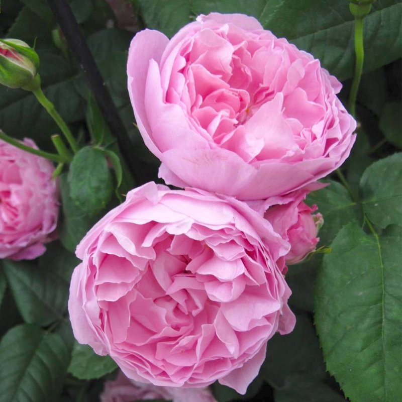 Rose 'Mary'