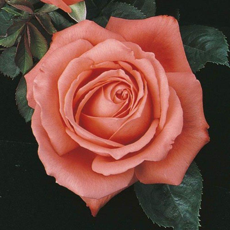 Rose 'Tropicana'