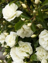 Rose 'Flower Carpet White'