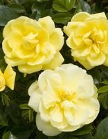 Rose 'Flower Carpet Yellow'