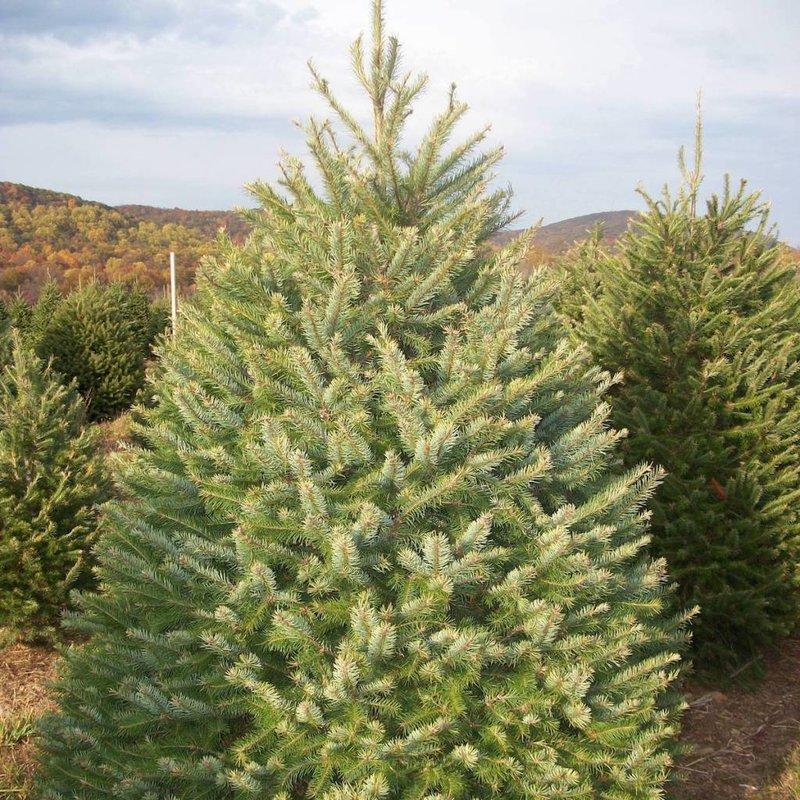 Douglas Fir Fresh Cut Christmas Tree - Douglas Fir - Cornell Farm