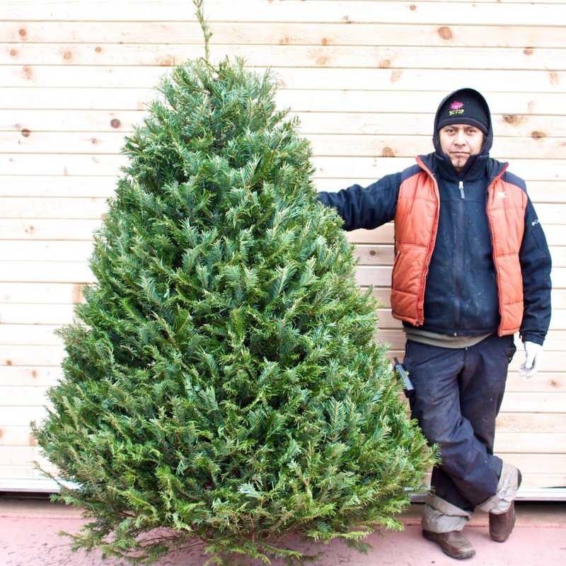 Grand Fir Fresh Cut Christmas Tree