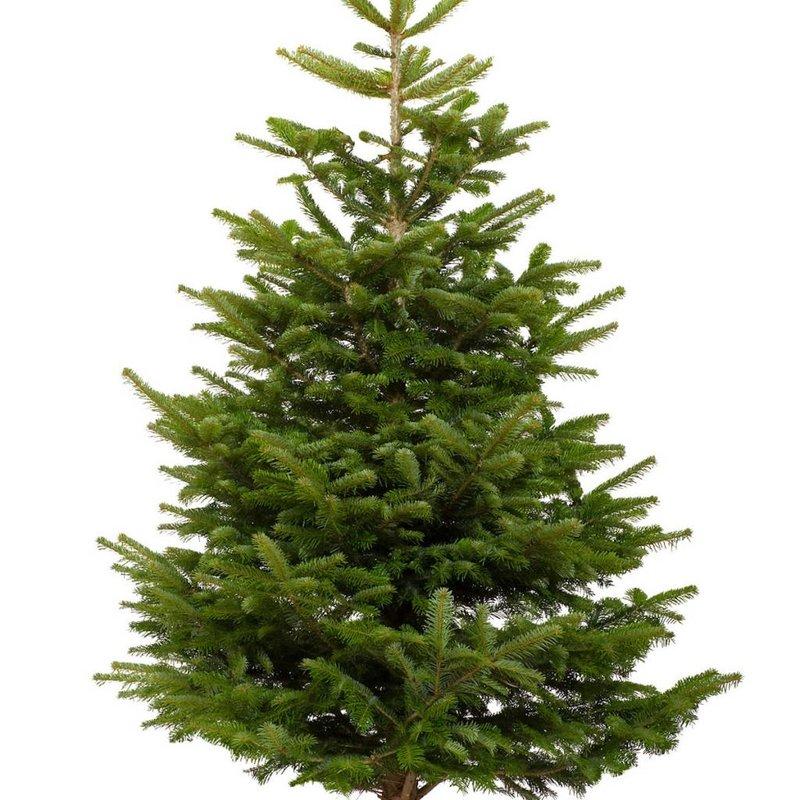 Nodrmann Fir Fresh Cut Christmas Tree