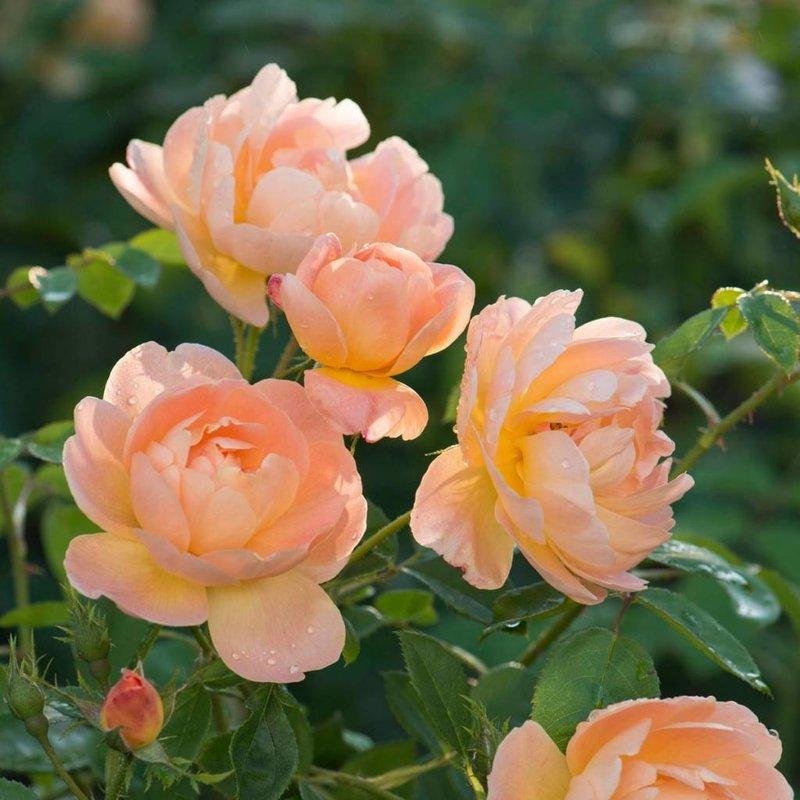 Rose 'The Lark Ascending'