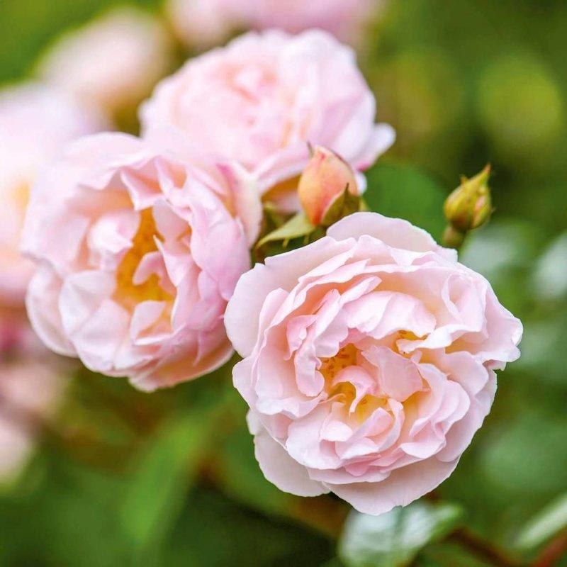 Rose 'Lady of the Lake'