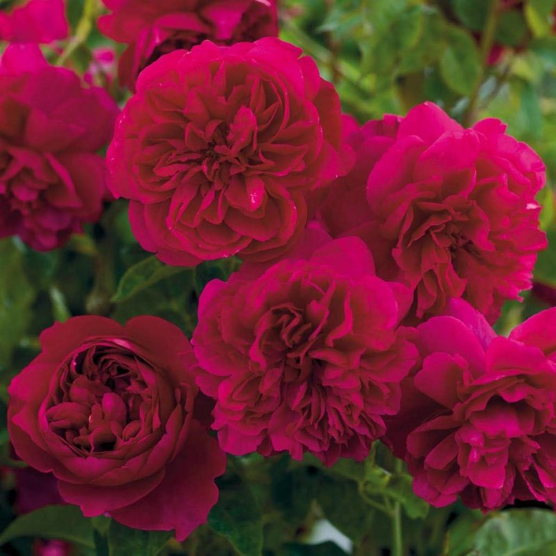 Rose 'Thomas à Beckett'