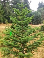 Wild Noble Fir Fresh Cut Christmas Tree