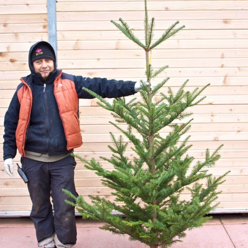 Wild Noble Fir Fresh Cut Christmas Tree