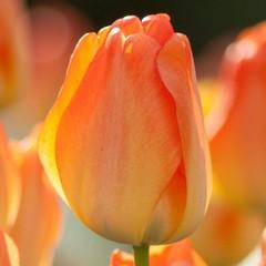Tulipe Daydream (unité)
