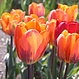 Tulipe Princess Irene (paquet de 6 bulbes)