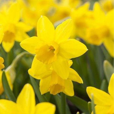 Narcissus dutch master (paquet de 5 bulbes)