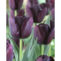 Tulipe Queen of Night (paquet de 6 bulbes)