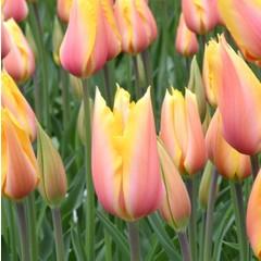 Tulipe Blushing Beauty (paquet de 6 bulbes)
