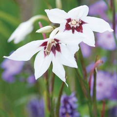 Acidanthera Murielae (paquet de 10 bulbes)