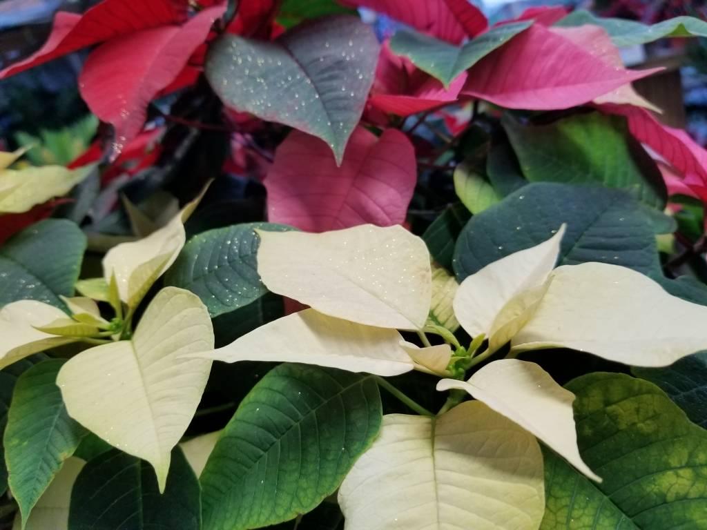 Le Poinsettia - Son histoire et son entretien