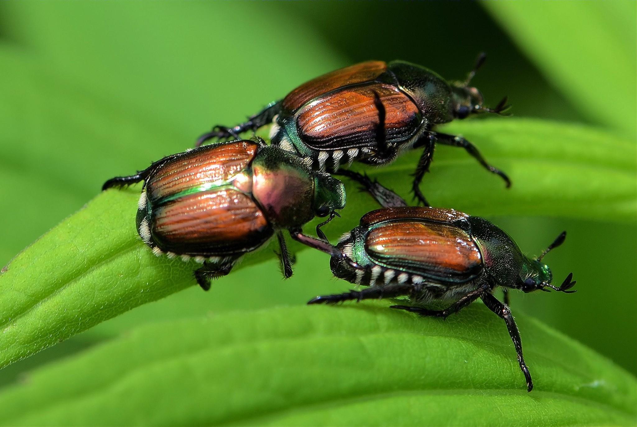 Vaincre le scarabée japonais et le vers blanc dans son jardin