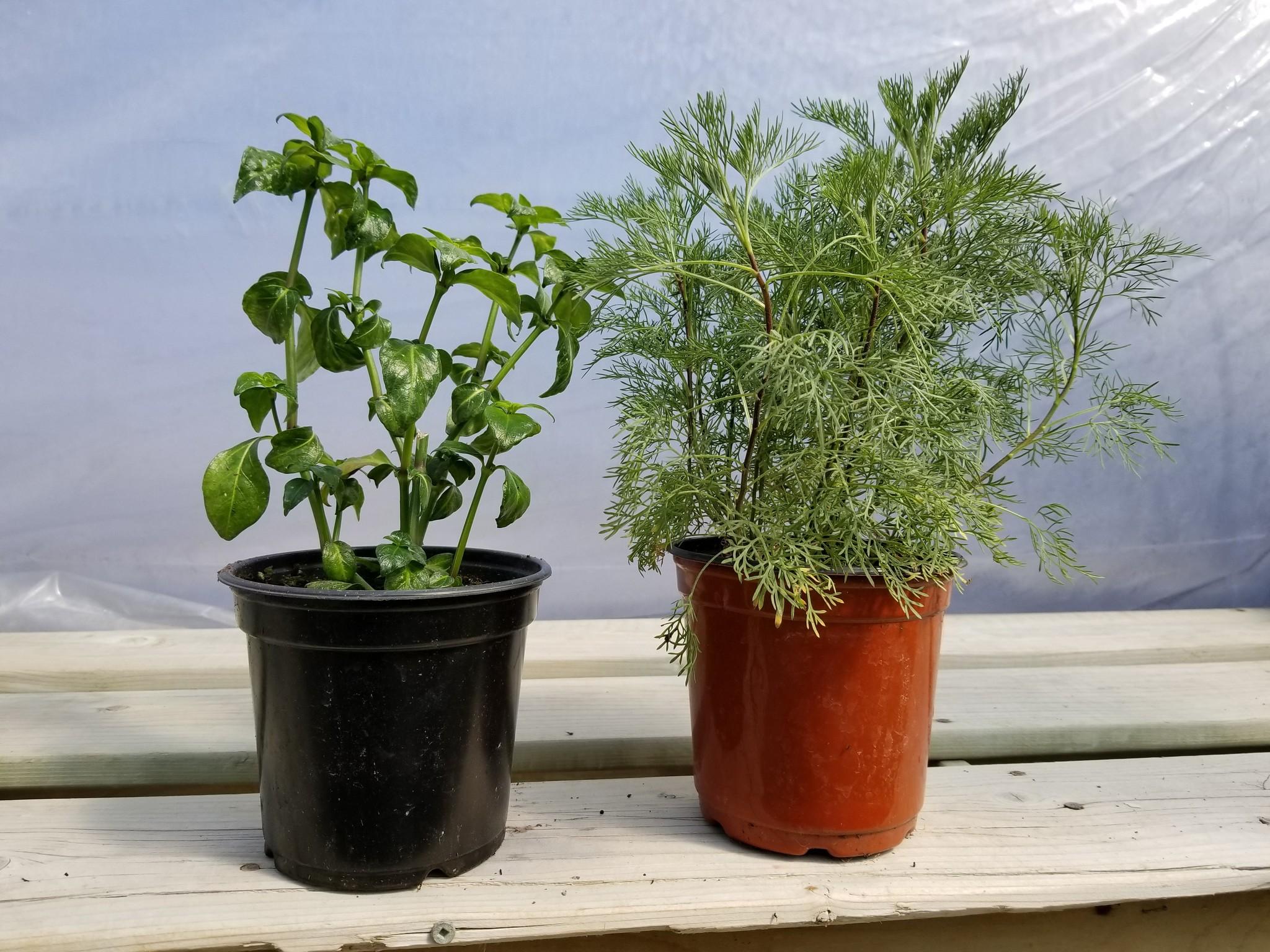 """La plante """"Cola"""" (Artemisia abronatum) et la plante """"Champignon"""" (Rungia klossii)"""