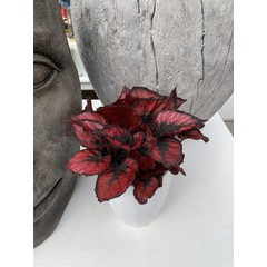 """Begonia Rex Red Kiss 5"""""""