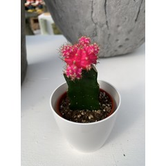 Cactus greffé 2,5 po