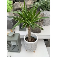 """Yucca Cane variegata 8"""""""
