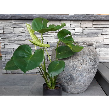 """Philodendron monstera 6"""""""